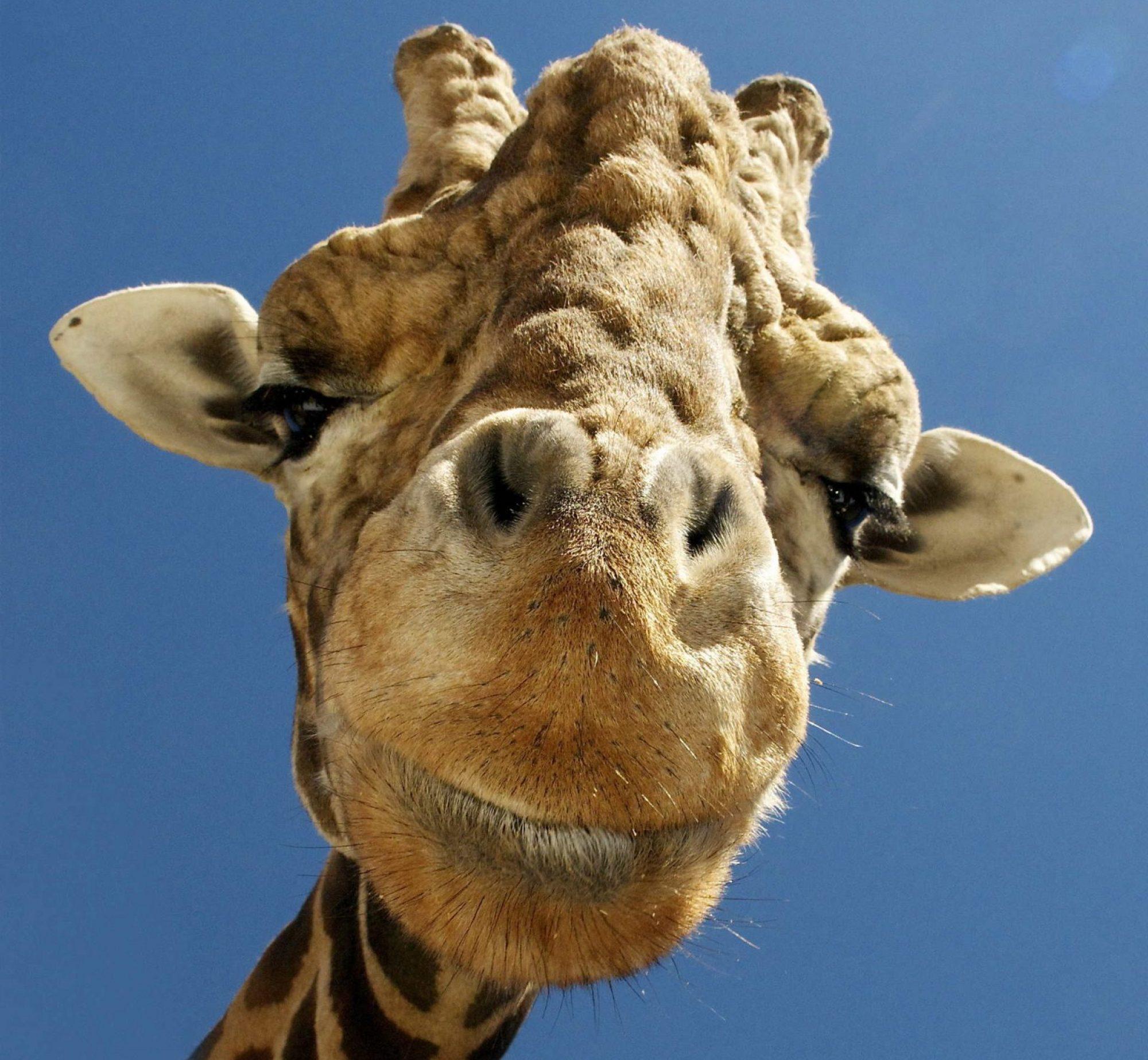 GiraffeIT